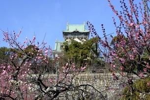 大阪城梅林,梅の花と大阪城天守閣の写真素材 [FYI04805248]