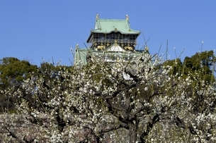 大阪城梅林,梅の花と大阪城天守閣の写真素材 [FYI04805252]