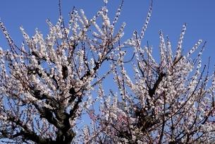 大阪城梅林,満開の梅の花の写真素材 [FYI04805258]