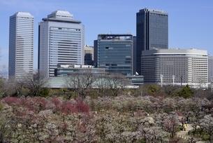 大阪城梅林,満開の梅の花と大阪ビジネスパークの写真素材 [FYI04805271]