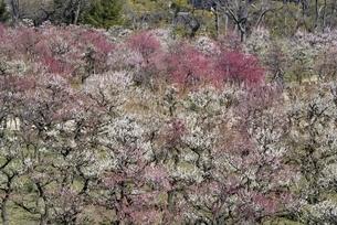 大阪城梅林,満開の梅の花の写真素材 [FYI04805272]