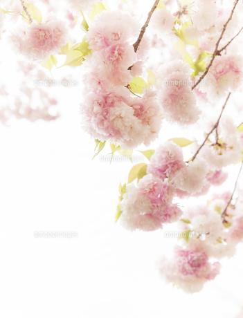 満開の八重桜の写真素材 [FYI04805351]