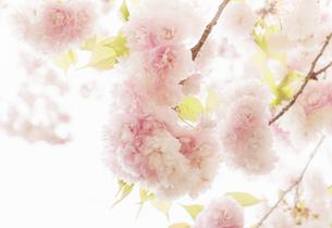 満開の八重桜のクローズアップの写真素材 [FYI04805352]