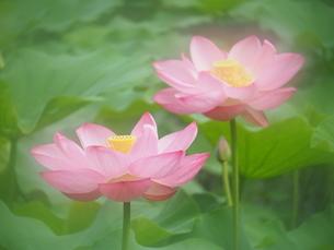 ハスの花の写真素材 [FYI04805907]