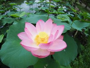 ハスの花の写真素材 [FYI04805913]