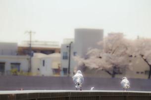 桜とカモメの写真素材 [FYI04805971]