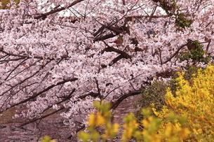 井の頭公園の桜の写真素材 [FYI04805973]