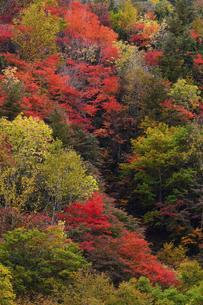 照葉峡を彩る紅葉の写真素材 [FYI04806391]