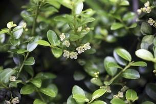 イヌツゲの開花の写真素材 [FYI04806502]