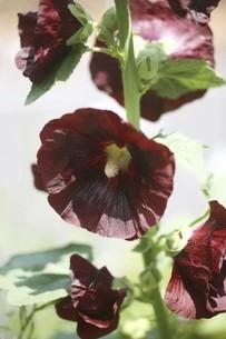 タチアオイ・赤黒色の花の写真素材 [FYI04806503]