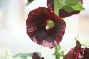 タチアオイ・赤黒色の花の写真素材 [FYI04806504]