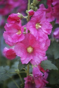 タチアオイ・紅色の花の写真素材 [FYI04806505]