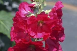 タチアオイ・真っ赤な花の写真素材 [FYI04806506]