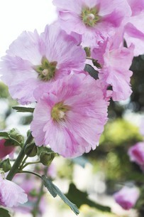 タチアオイ・ピンク色の花の写真素材 [FYI04806507]