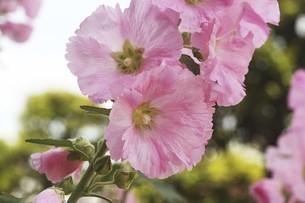タチアオイ・ピンク色の花の写真素材 [FYI04806508]