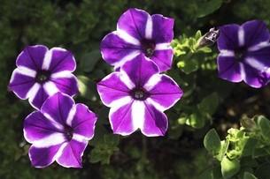 ペチュニア・紅紫色と白色の花の写真素材 [FYI04806520]