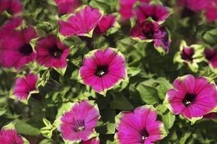 ペチュニア・紅色と緑色の花の写真素材 [FYI04806521]