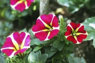 ペチュニア・紅色と白色の花の写真素材 [FYI04806522]