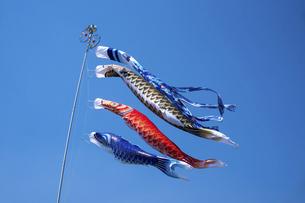 元気に泳ぐ鯉のぼりの写真素材 [FYI04806562]