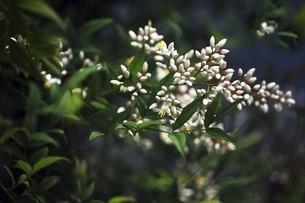 咲き始めたナンテンの花の写真素材 [FYI04806814]