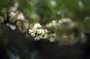 イヌツゲの白い小花の写真素材 [FYI04806821]