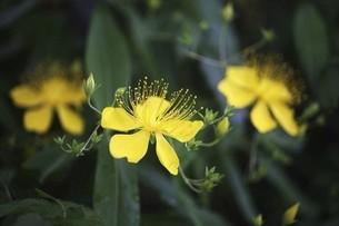 咲き始めたビヨウヤナギの花の写真素材 [FYI04806823]
