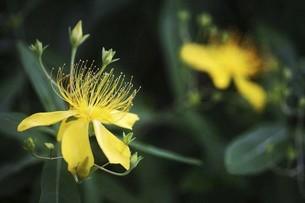 咲き始めたビヨウヤナギの花の写真素材 [FYI04806824]