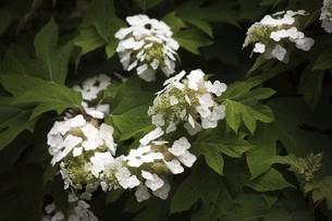 カシワバアジサイの開花の写真素材 [FYI04806829]