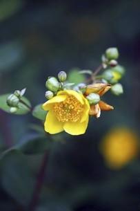 雨上りに開花、キンシバイの花の写真素材 [FYI04806832]