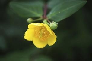 雨上りに開花、キンシバイの花の写真素材 [FYI04806833]