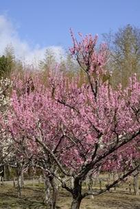 奈良,馬見丘陵公園,梅林公園の写真素材 [FYI04806853]