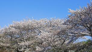 春の公園「神奈川県立四季の森公園」桜の花の写真素材 [FYI04806916]