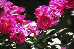 バラ・ニュースの花の写真素材 [FYI04806976]