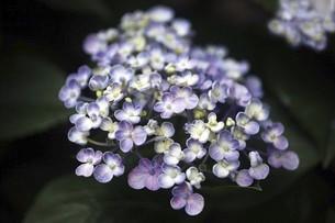 アジサイ・ポップコーンの花の写真素材 [FYI04806982]