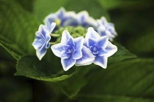 ガクアジサイ・コンペイトウの青い花の写真素材 [FYI04806986]