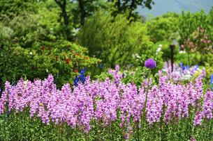 うららかな春の季節 花公園風景(くじゅう花公園)の写真素材 [FYI04807005]