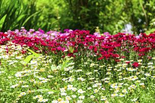 うららかな春の季節 花公園風景(くじゅう花公園)の写真素材 [FYI04807008]