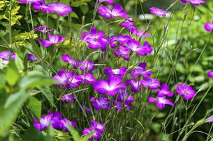 うららかな春の季節 花公園風景(くじゅう花公園)の写真素材 [FYI04807010]