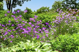 うららかな春の季節 花公園風景(くじゅう花公園)の写真素材 [FYI04807014]