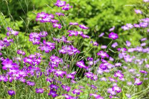 うららかな春の季節 花公園風景(くじゅう花公園)の写真素材 [FYI04807015]
