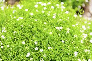 うららかな春の季節 花公園風景(くじゅう花公園)の写真素材 [FYI04807026]