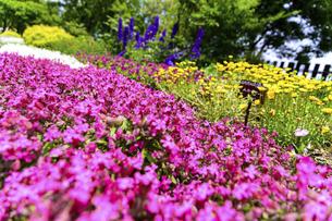 うららかな春の季節 花公園風景(くじゅう花公園)の写真素材 [FYI04807034]