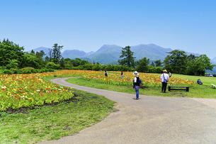 観光客 ポピー うららかな春の季節に美しく 可愛らしく (くじゅう花公園) の写真素材 [FYI04807040]