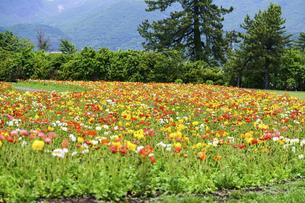 ポピー うららかな春の季節に美しく 可愛らしく (くじゅう花公園) の写真素材 [FYI04807041]