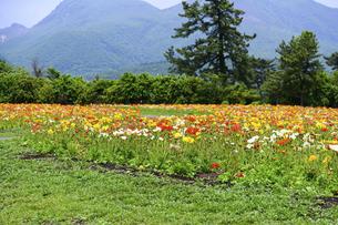 ポピー うららかな春の季節に美しく 可愛らしく (くじゅう花公園) の写真素材 [FYI04807046]