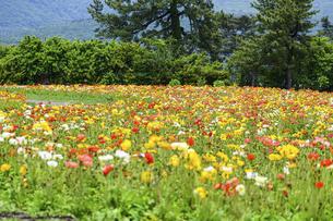 ポピー うららかな春の季節に美しく 可愛らしく (くじゅう花公園) の写真素材 [FYI04807047]