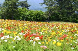 ポピー うららかな春の季節に美しく 可愛らしく (くじゅう花公園) の写真素材 [FYI04807048]