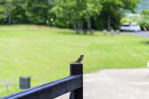 野鳥・ポピー うららかな春の季節に美しく 可愛らしく (くじゅう花公園) の写真素材 [FYI04807057]
