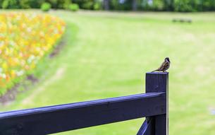 野鳥・ポピー うららかな春の季節に美しく 可愛らしく (くじゅう花公園) の写真素材 [FYI04807060]