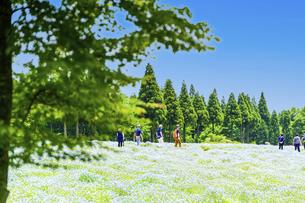 ネモフィラ うららかな春の季節に美しく 可愛らしく (くじゅう花公園) の写真素材 [FYI04807082]